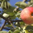 Stock Photo: Fruit apple red ripened