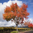 Autumn Tree — Stockfoto #6306375