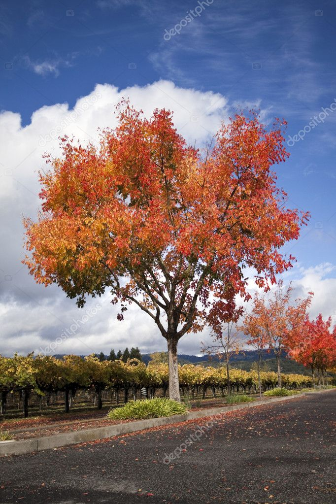 A vineyard and autumn colored trees around a road — Stock Photo #6306375
