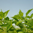 Soy nature background — Stock Photo #6133458