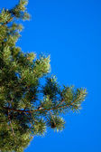Branches of the pines against the blue sky — Stok fotoğraf