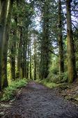 Cedars in walking road — Stock Photo