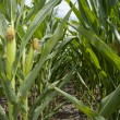 Stock Photo: Maize Plantation