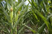 Maize Plantation — Stock Photo