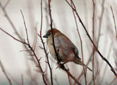 Sparrow among branches — Stock Photo