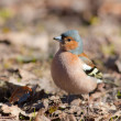 The chaffinch in the spring — Stock Photo