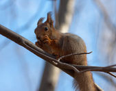 The squirrel eats the cone — Стоковое фото