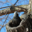 Stock Photo: Jackdaw in tree hollow