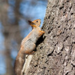 The squirrel rises — Foto de Stock
