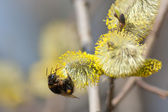 Bumblebee on a willow — Stock Photo