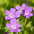 Stock Photo: Small violet flowers
