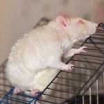 The white domestic rat — Stock Photo