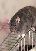 The black domestic rat — Stock Photo