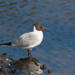Seagull on river bank — Stock Photo #5663991