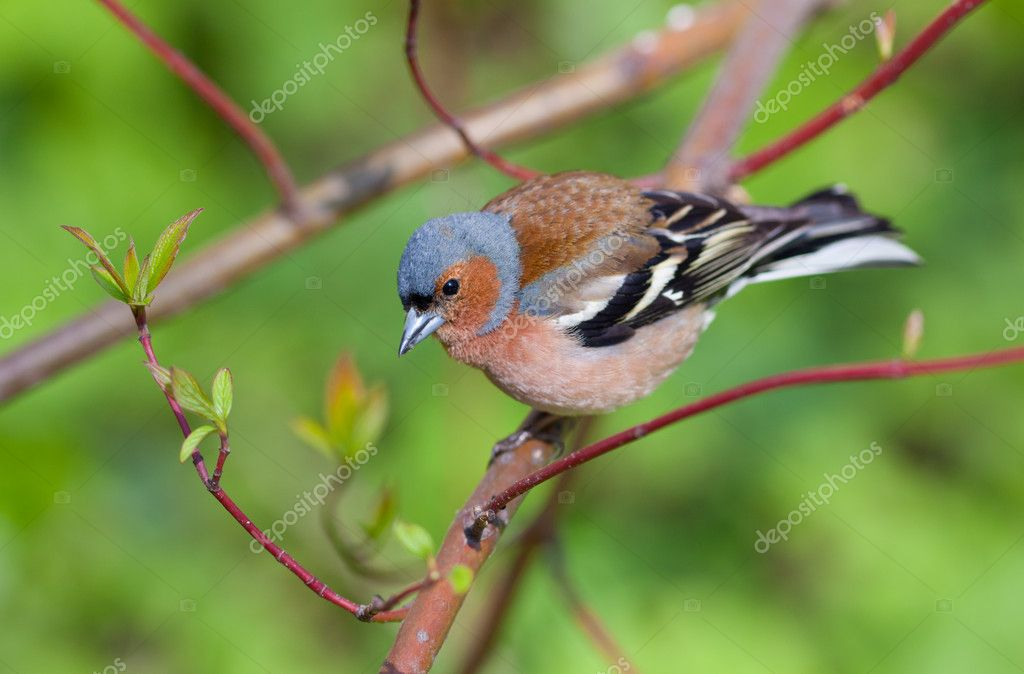The chaffinch on a branch of a tree in the spring  Stock Photo #5666776