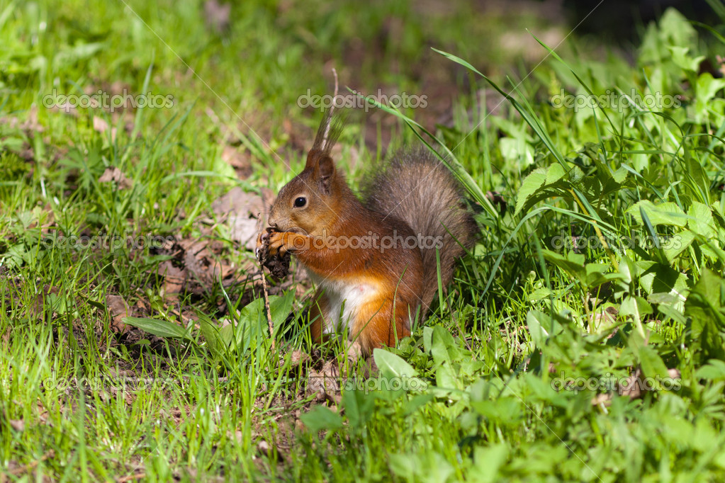 The squirrel in a spring grass eats the cone — Stock Photo #5666790