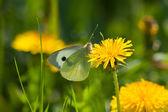 Yeşil kelebek — Stok fotoğraf
