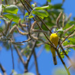 Yellow wagtail — Stock Photo #5900779