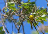 Yellow wagtail — Stock Photo