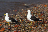 Two seagulls on seacoast — Stock Photo