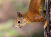 The squirrel close up — Stock Photo