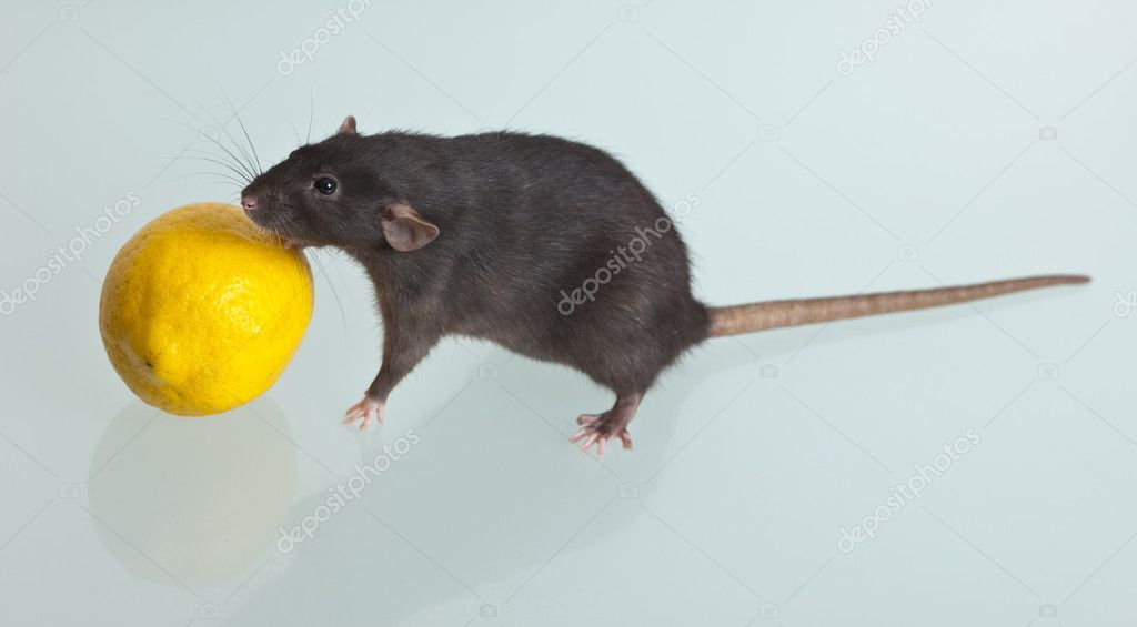Black domestic rat with a lemon on a table  Stock Photo #5997340