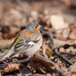 The chaffinch — Stock Photo