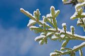 Branches de sapin — Photo