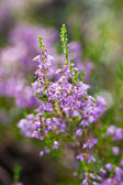Blossoming heather — Photo