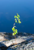 Grows through rocks — Stock Photo