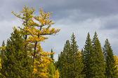 Coniferous trees in the autumn — Stock Photo