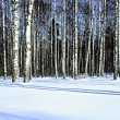 Winter snow birch forest,panoranic — Stock Photo