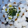 White iberis sempervirens flower — Stock Photo