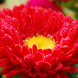 Red chrysanthemum Daisy Flower — Stock Photo