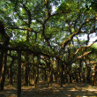 Stock Photo: BANYAN TREE ROOTS