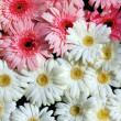 Pink white gerbera daisy Flower — Stock Photo