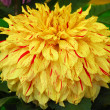 Yellow Red Dahlia Flower — Stock Photo