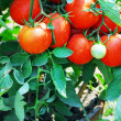 Fresh Red Tomatoes growing on vine — Stock Photo #6464752