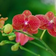 Red Moth Orchid flower — Stock Photo