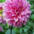 Pink Dahlia Flower — Stock Photo