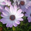 Blue White pink Daisy Flowers - Stockfoto