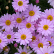 Purple pink yellow Daisy Flowers — Stock Photo