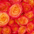 Red orange rose flower cluster — Stock Photo