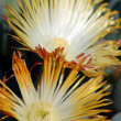 Yellow succulent flower - Stockfoto