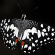 Stock Photo: Black white spotted Butterfly insect