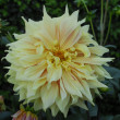 Yellow Dahlia Flower - Stockfoto