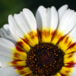 White venidium daisy flower - Stockfoto