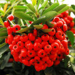 Holly and red berries - Stockfoto