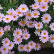 Purple pink yellow Daisy Flowers - Stockfoto