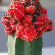 Red Cactus plant grafted — Stock Photo